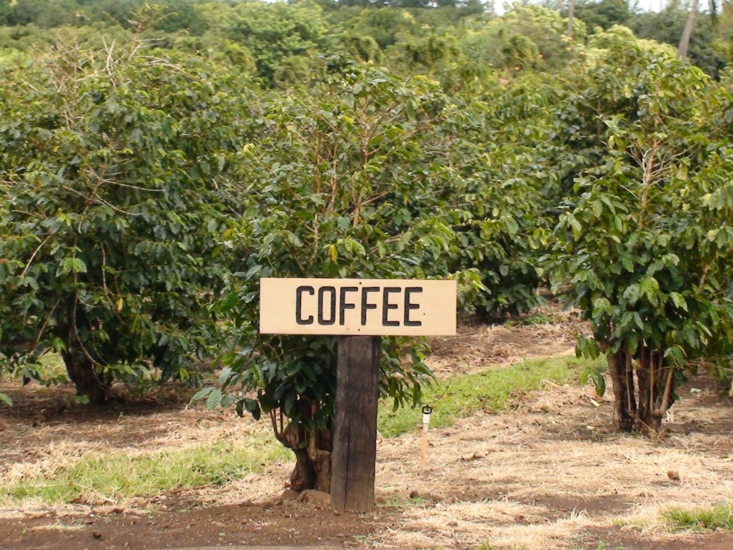 coffee bushes