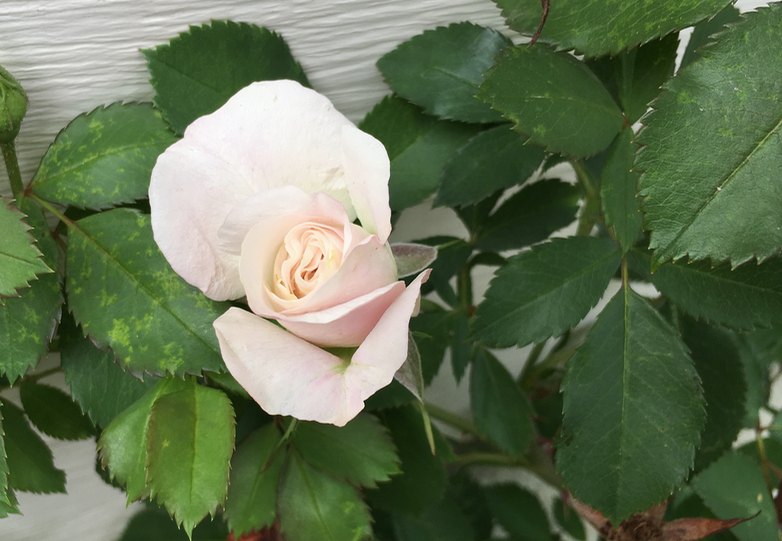 first rose to bloom